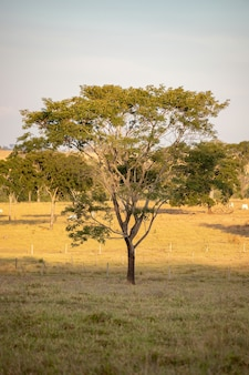 Large angiosperm tree in a pasture area of a farm