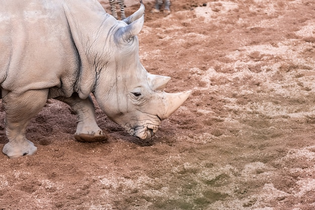 Large animals, rhinoceros sniffing the ground in search of food with its horn.