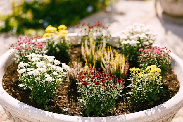 Large architectural flowerpot with red, yellow and white aster and alyssum flowers on a sunny day.