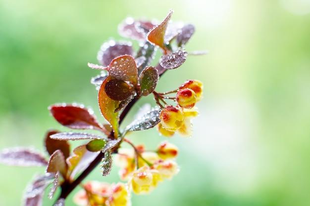 Большие цветки барбариса с водой падают на солнечный весенний день в саде. крупный план.