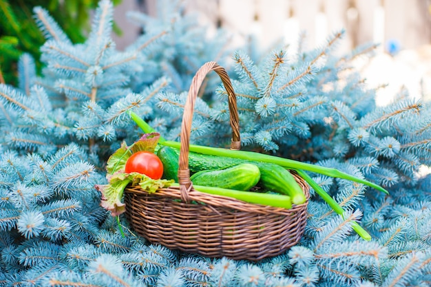 Large basket full of harvested cucumbers and tomatoes on green fir-tree