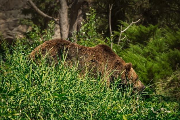 背の高い草の葉の間に隠された大きなクマ