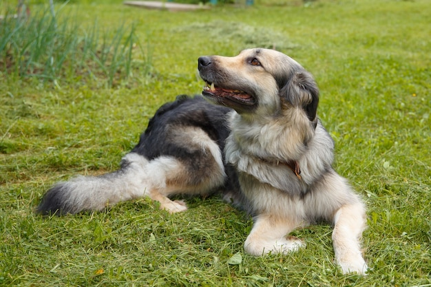 Large beautiful mestizo dog of the czech wolf top lies on the green grass.