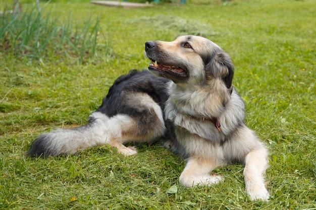 На зеленой траве лежит большая красивая собака-метис чешского волка вершина.