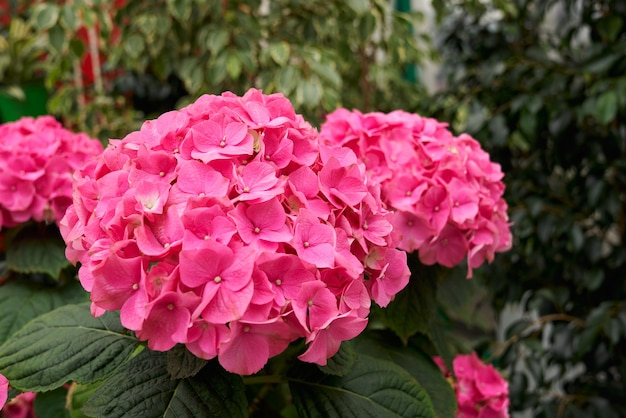 Large beautiful pink hydrangea in modern greenhouse