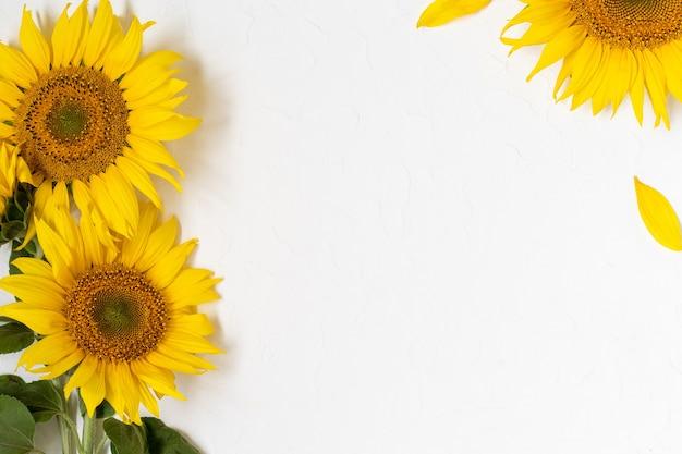 Большие красивые желтые подсолнухи в белой стене. цветут подсолнухи