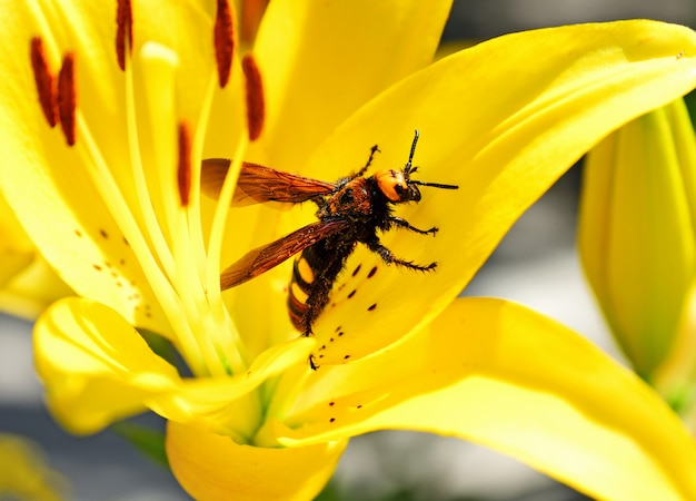 Large bee hornet sits on a yellow lily flower