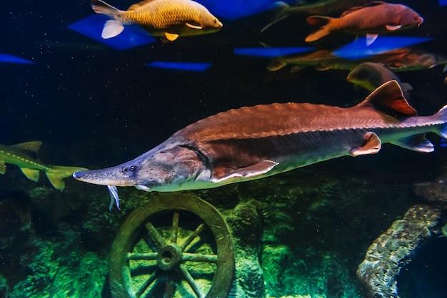 Large beluga fish swims under blue water