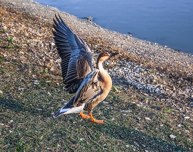 池の岸にある大きな鳥のガチョウ
