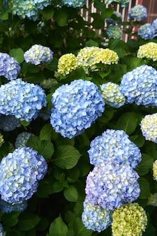 수국 부시 근접 촬영에 큰 파란색과 노란색 꽃