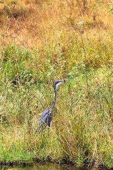 Большая голубая цапля ждет добычи в парке меру кения