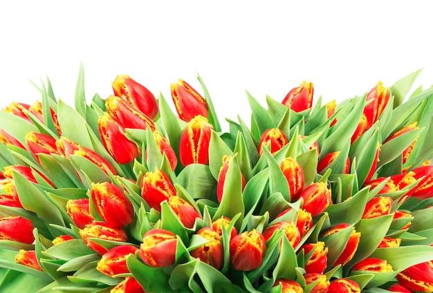白い背景の上の赤いチューリップの大きな花束