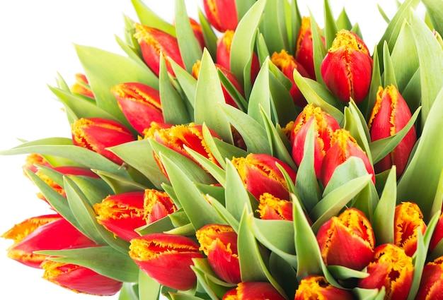 Большой букет красных тюльпанов на белом фоне