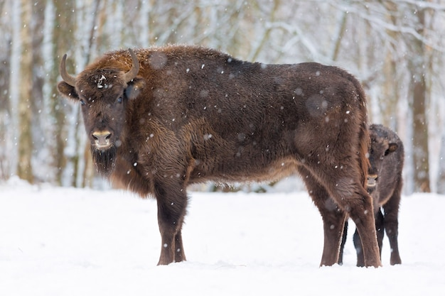 Large brown bisons wisent family near winter forest with snow.