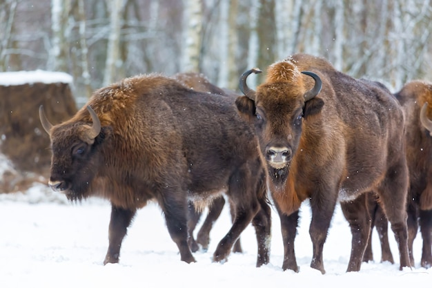 Large brown bisons wisent group near winter forest with snow.