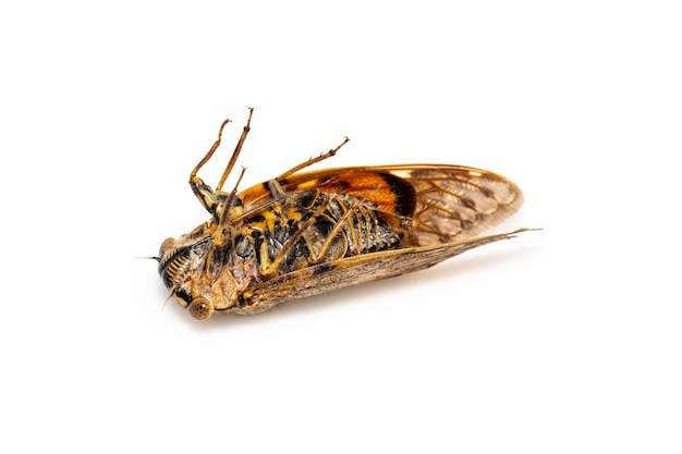 Large brown cicada insect isolated. insects.