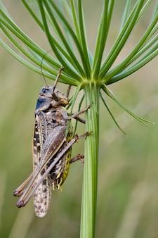 식물 우산 아래 큰 갈색 메뚜기입니다.