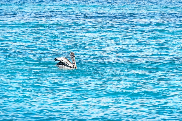 大きなカッショクペリカンは、カリブ海の青いターコイズブルーの海に沿って泳ぎます。夏のジューシーな海の景色。キューバ。