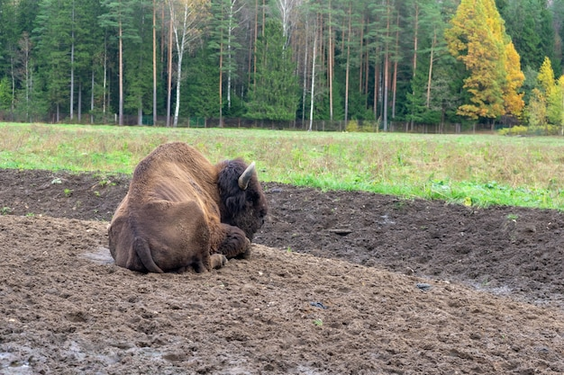 Большой зубр-бык в национальном парке на фоне природы.