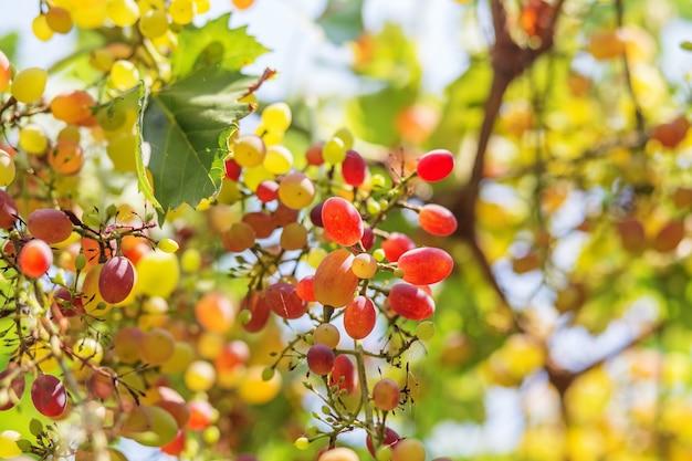 赤ワイン用ブドウの大きな房がブドウの木からぶら下がっています。