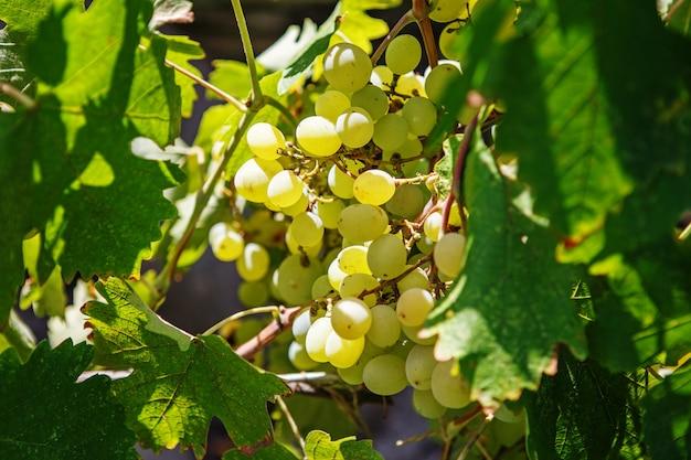 Большая гроздь белого винограда свисает с лозы