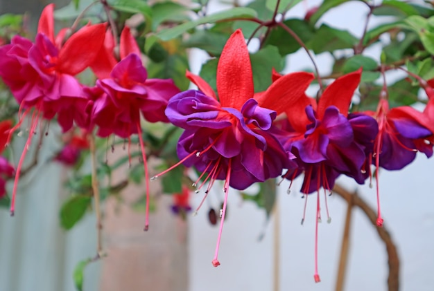 Large bunch of stunning vividt hot pink and purple fuchsia flowers, cusco, peru, south america