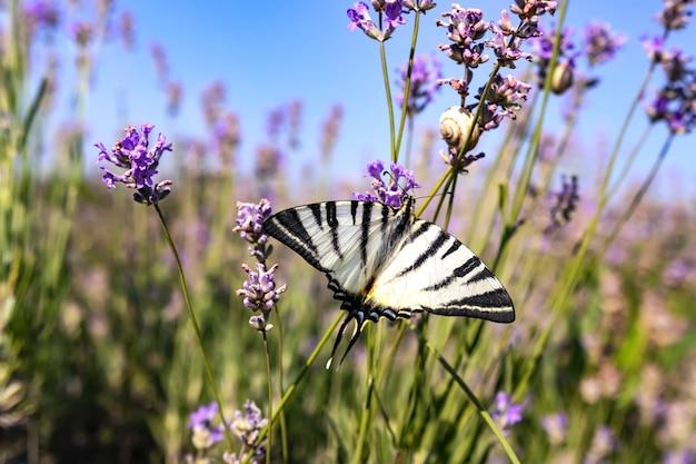 Большая парусная лодка-бабочка с белыми крыльями с черными полосами на цветке лаванды в поле в солнечный день