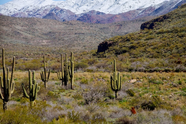 A large, cactus out in a valley filled with cactus in the desert mountains are covered in snow.