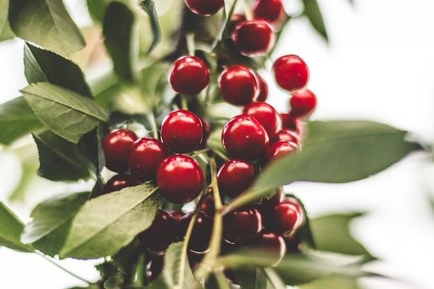 В летнем саду на дереве растут крупные ягоды вишни.