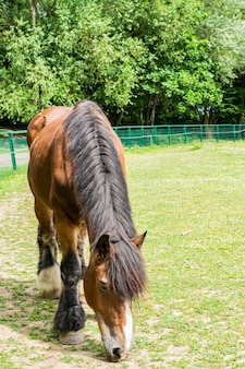 Large chestnut cold-blooded horse shire on a farm.