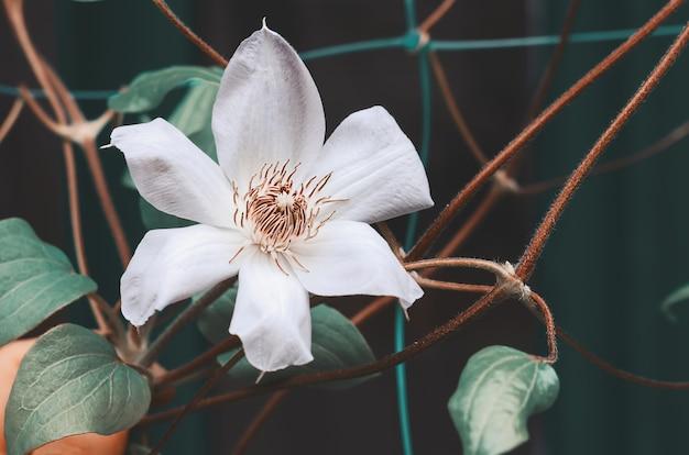 Большой цветок клематиса весной в саду