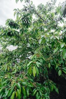 緑のサクランボの大きなクラスターが庭の木にクローズアップ。おいしいサクランボの収穫。