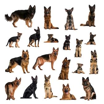 異なる位置にあるジャーマンシェパード犬、大人と子犬の大規模なコレクション
