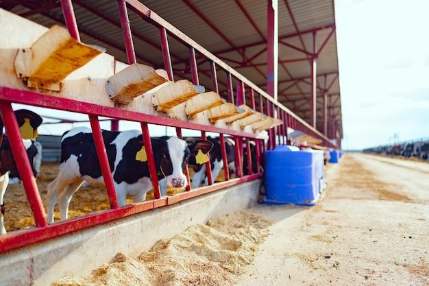 農場の乳牛と大きな牛舎がクローズアップ
