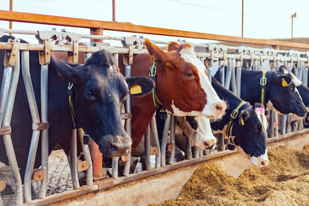 農場で乳牛がいる大きな牛舎