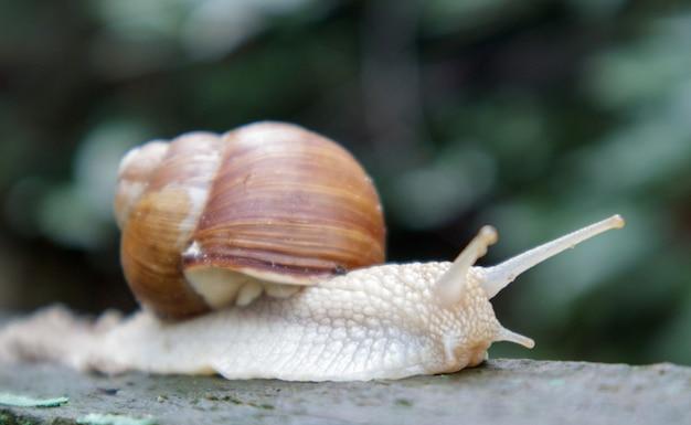 줄무늬 껍질을 가진 큰 크롤링 정원 달팽이. 갈색 줄무늬 껍질을 가진 큰 흰색 연체 동물. 정원에서 여름 날입니다. 부르고뉴, 흐릿한 배경을 가진 로마 달팽이입니다. 헬릭스 프로마티아.