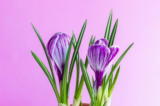 はがきのピンクの背景に紫の縞が付いた大きなクロッカスクロッカスサティバスc.ヴェルヌスの花、誕生日の挨拶、母の日、バレンタインの日。