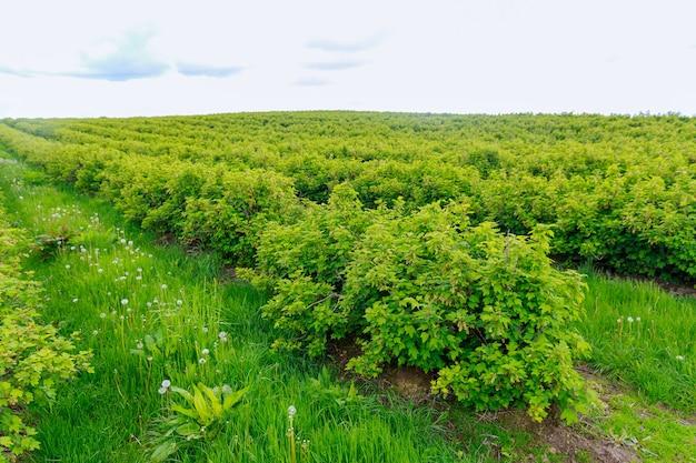큰 건포도 농장. 농지에 짝수 줄로 늘어선 건포도 덤불