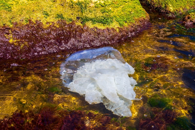 바닷물의 해안 근처에 있는 큰 죽은 쏘는 해파리(rhizostoma pulmo)