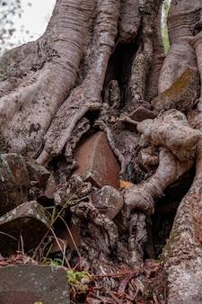 Large dicotyledonous angiosperm tree of the genus ficus growing among the rocks