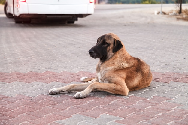 A large dog with sad eyes lies in anticipation.