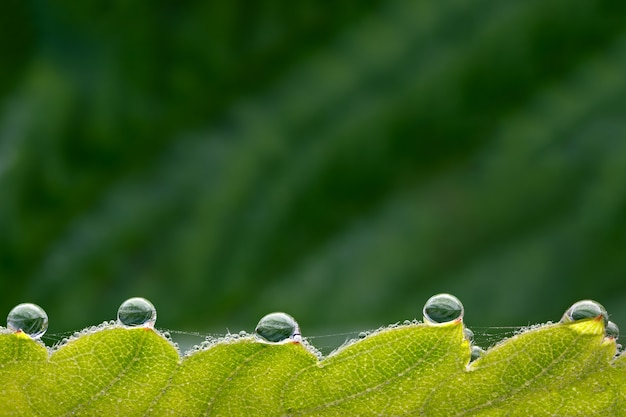 Large drops of dew on the green leaves of strawberry