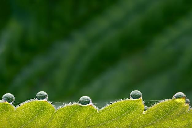 Крупные капли росы на зеленых листьях клубники