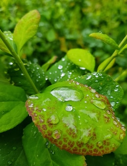 Large drops of water on green leaves