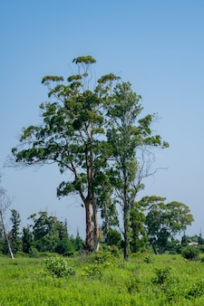 人けのない場所、風景の中の大きなユーカリの木