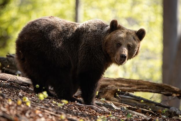 Большая самка бурого медведя перед камерой в летнем буковом лесу