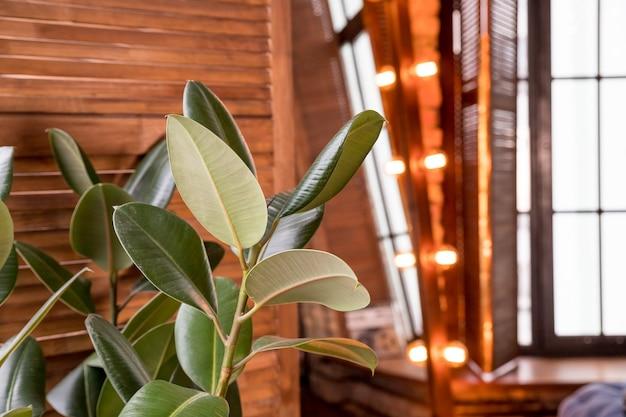 大きなイチジク植物。花屋の木製のヴィンテージの壁にセラミックポットのスタイリッシュな緑の植物。モダンな部屋の装飾。スタイリッシュなアパートのインテリア。大きな葉のあるフィカスラバーベアリング
