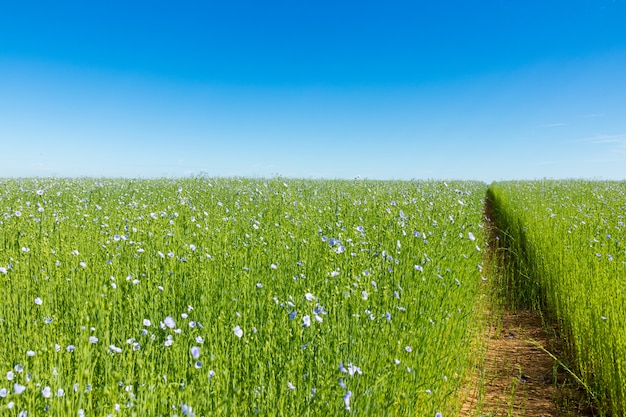 Large field of flax in bloom in spring