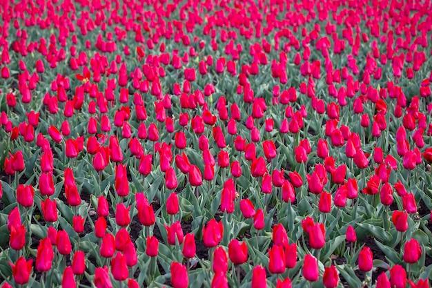 咲く赤いチューリップの広いフィールド。花と植物学