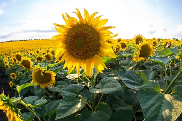 Большое поле цветущих подсолнухов. агрономия, сельское хозяйство
